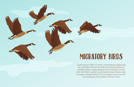 Flock of migrating geese flying. Migratory birds concept.