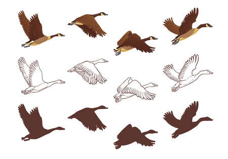 Goose flying process in different poses. Isolated illustration on white background. Three different versions, colorful illustration, hand drawn sketch and silhouette. Vector illustration.
