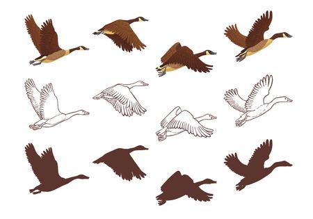 Proceso de vuelo de ganso en diferentes poses. Ilustración aislada sobre fondo blanco. Tres versiones diferentes, ilustración colorida, boceto dibujado a mano y silueta. Ilustración de vector.