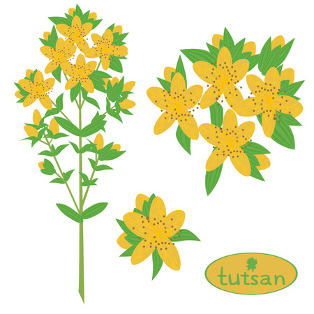 homeopathic: illustration,tutsan, Saint-Johns-wort, medicinal plant