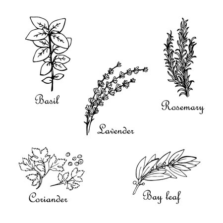 Set of hand-drawn spices: basil, lavender, rosemary, coriander, bay leaf, vector sketch, isolated on white