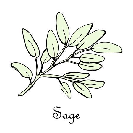 Sage doodle sketch illustration