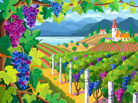 Rural landscape with vineyard and grapes bunches Illustration