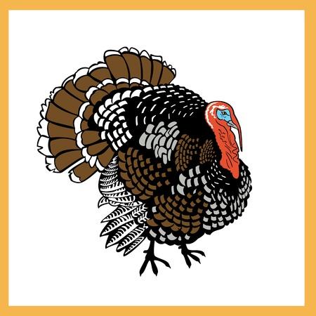 gobbler: standing one turkey isolated on white background  Illustration