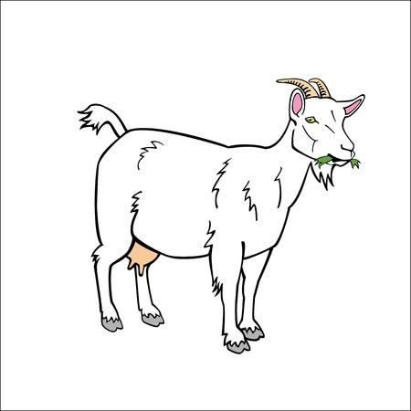 cabras: de pie una cabra blanca sobre fondo blanco
