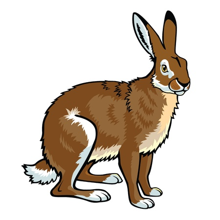 siting brown hare picture isolated on white background Illustration