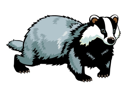 Eurasian badger picture isolated on white background Stock Vector - 15033323
