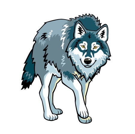 timber wolf: standing grey wolf