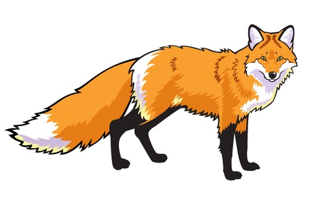 standing red fox  Illustration