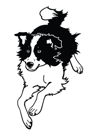 sheepdog: running dog,border collie,black and white vector image isolated on white background