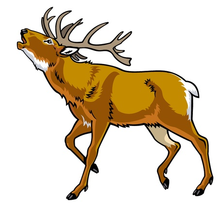 red deer: deer,red deer,stag,side view picture isolated on white background