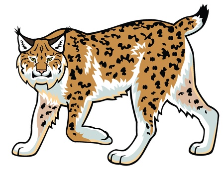 zoology: lynx,wildcat image,side view picture isolated on white background,full length Illustration