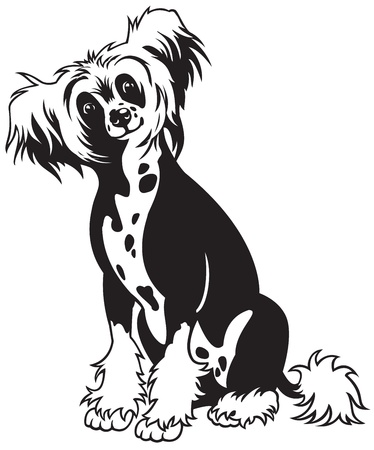 dog,chinese crested breed,black and white vector picture isolated on white background,front view image,sitting pose Stock Vector - 16459137