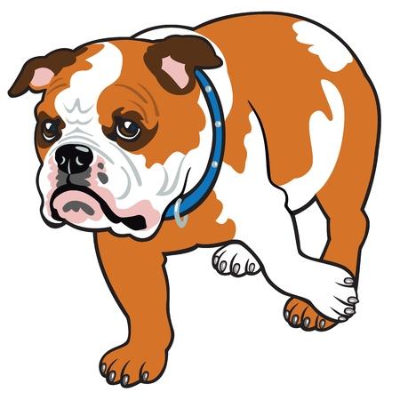 hund, engelsk bulldogg ras, vektor bild isolerad på vit bakgrund, framifrån bild Illustration