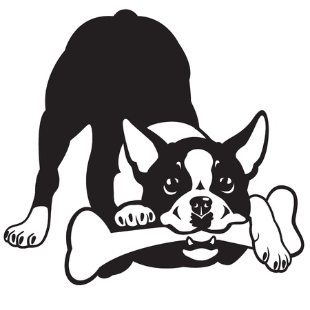 boston terrier: dog,boston terrier breed,black and white vector picture isolated on white background,front view image Illustration