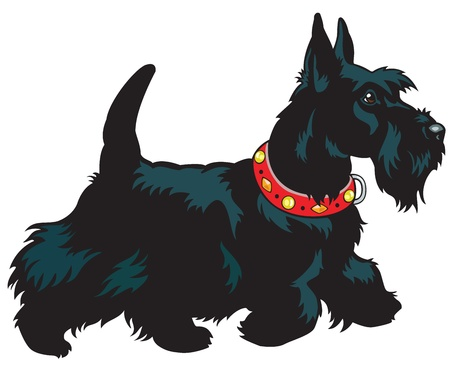 dog walking: dog,scottish terrier breed, picture isolated on white background,side view image