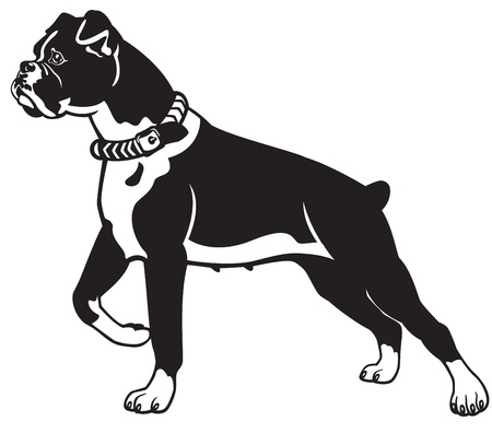 dog breed boxer,black and white vector picture,standing pose,side view image Illustration