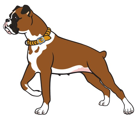 boxer: dog breed boxer,vector picture isolated on white background,standing pose,side view image