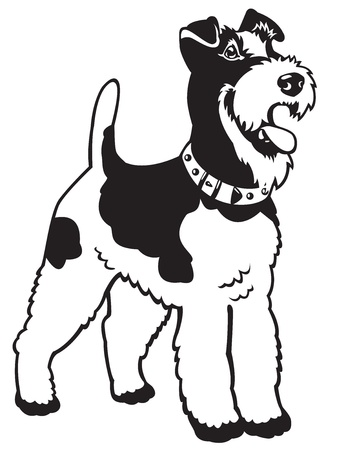 fox terrier: dog,fox terrier breed,black and white vector picture isolated on white background,standing pose Illustration