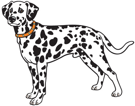 dog standing: dalmatian dog breed,vector picture isolated on white background