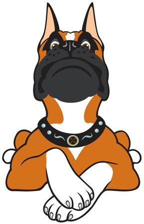 boxeadora: perro de raza boxer, imagen aislada en el fondo blanco, de frente vista de la imagen de dibujos animados