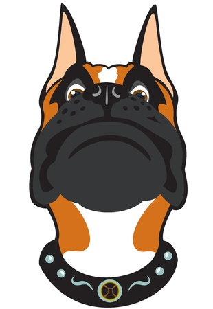 perro boxer: cabeza de perro, raza boxer, imagen vectorial aislados en fondo blanco, de frente vista de la imagen de dibujos animados