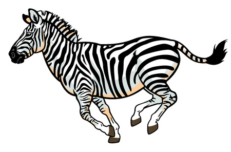 burchell: zebra,equus burchell,side view picture isolated on white background Illustration
