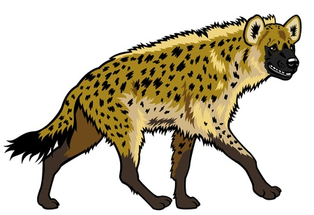 zoology: spotted hyena,africa animal,side view picture isolated on white background Illustration