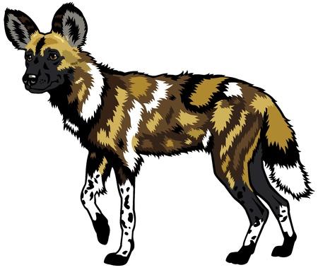 perro salvaje africano, Lycaon pictus, animales de africa, imagen Vista lateral aislada en el fondo blanco