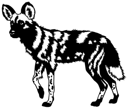 lycaon pictus: african wild dog,lycaon pictus,animal of africa,black and white image Illustration