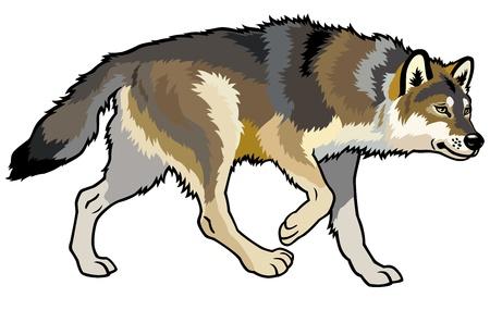 timmer varg, canis lupus, vilda djur av eurasiska skog, från sidan bilden isolerade på vit bakgrund Illustration