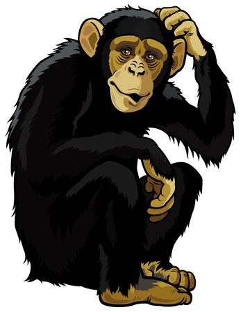 zoology: monkey chimpanzee,simia troglodytes,sitting pose,picture isolated on white background