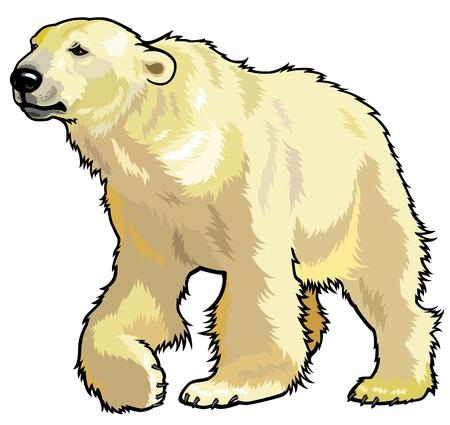 vertebrate: polar bear
