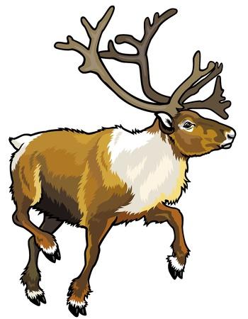 caribou: caribou reindeer