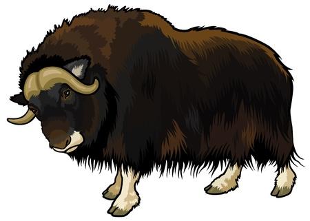 buey: buey almizclero, ovibos moschatus, animales del Ártico, la imagen vista lateral aislado sobre fondo blanco
