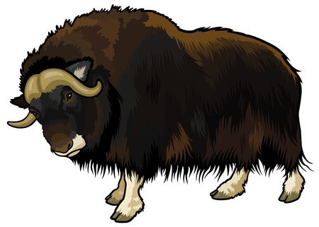 musk: muskox,ovibos moschatus,animal of arctic,side view picture isolated on white background