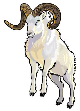 borrego cimarron: dall ovejas, Ovis dalli, animal del �rtico, la imagen vista frontal aislado sobre fondo blanco Vectores
