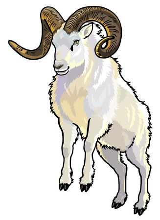 animal: dall sheep,ovis dalli,animal of arctic,front view picture isolated on white background Illustration