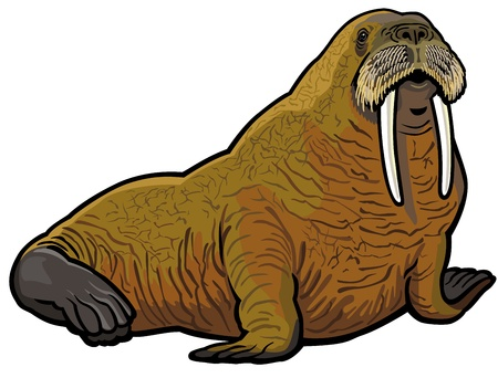 mammals: walrus,odobenus rosmarus,wild animal of arctic,picture isolated on white background