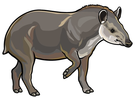 full length herbivore: lowland tapir,tapirus terrestris,side view picture isolated on white back
