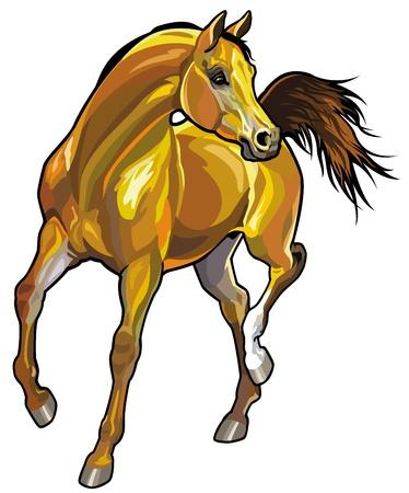 trotando: caballo �rabe, frente de la imagen vista aislado en fondo blanco Vectores