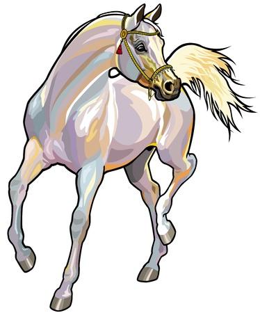veterinario: caballo árabe con el frenillo, la imagen vista frontal aislado sobre fondo blanco