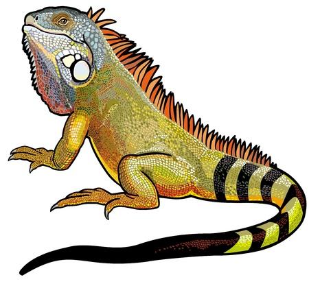 l�zard: iguane vert l�zard m�le, image isol�e sur fond blanc Illustration