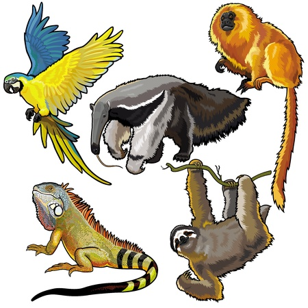parakeet: set with wild animals of south america,pictures isolated on white background Illustration