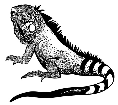 green iguana lizard male,black white illustration Vector