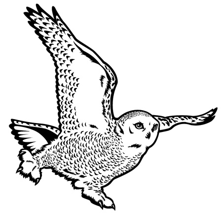 тундра: Снежная сова в полете, бубоном scandiacus, диких животных полярных, черно-белое изображение