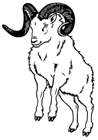 animal ram: mountain ram,front view black and white picture Illustration