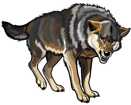 lobo: lobo, canis lupus, colocando actitud, imagen aislado en el fondo blanco Vectores