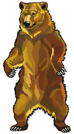 fleischfressende pflanze: Grizzlyb�r, Ursus arctos horribilis, Frontansicht Bild auf wei�em Hintergrund Illustration