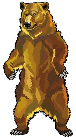 oso grizzly, ursus arctos horribilis, frente de la imagen vista aislado en fondo blanco